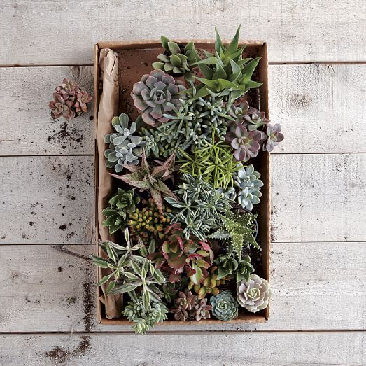 Succulents, Large Assorted